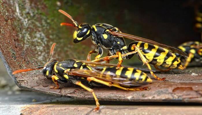 アシナガバチ巣 駆除方法