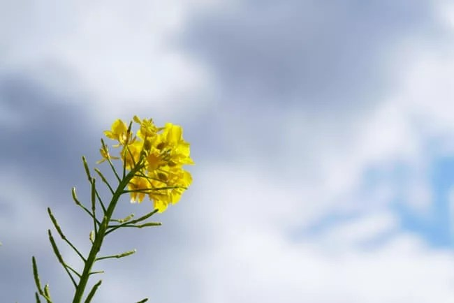 菜の花と空
