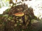 2015/07/26 宝ヶ池 マンネンタケ Ganoderma lucidum