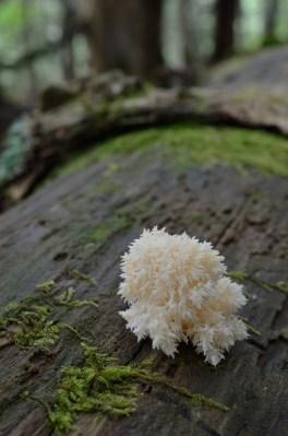 2015/08/24 富士山 サンゴハリタケモドキ幼菌 Hericium abietis