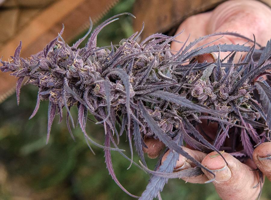 Kiona Santa Marta Purple cannabis flower