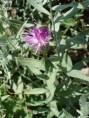 Centaurea spp.