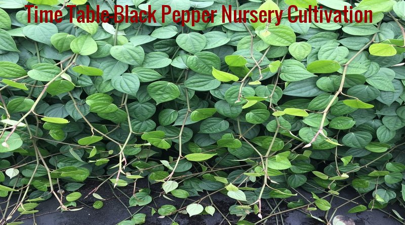 GAP-Calender Of Operations For Black Pepper Nursery Cultivation