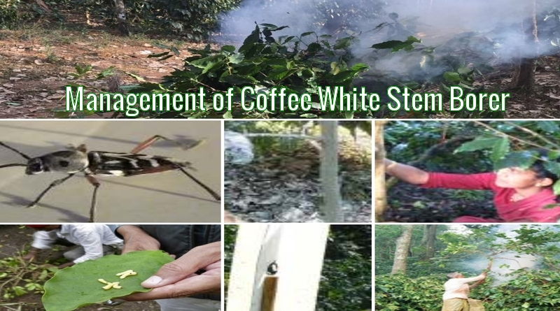 Management of Coffee White Stem Borer