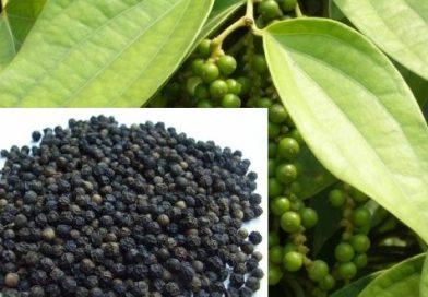 Upward price trend in pepper on limited arrival