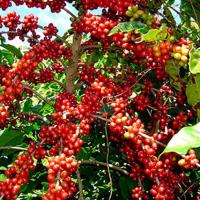 Arabica coffee futures weakens