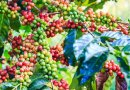 Arabica coffee prices rebound after hitting 6-week low