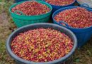 Arabica coffee futures climb after steep losses