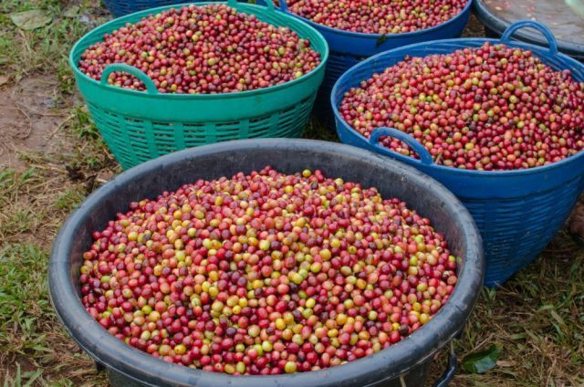 Coffee Prices (Karnataka) on 09-12-2019