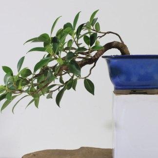Ficus K1365