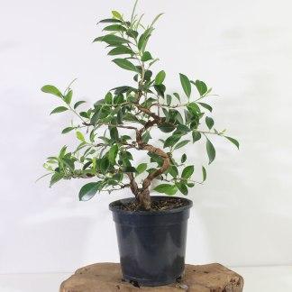 Ficus K1368