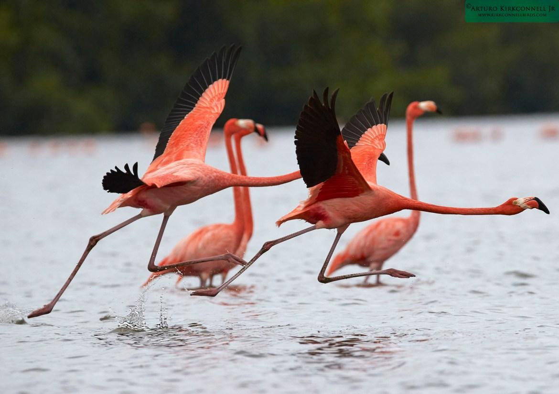 American Flamingo - Guanaroca Cienfuegos