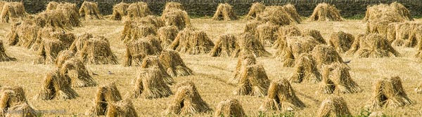 Stooks of Corn