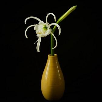 peruvian-daffodil1