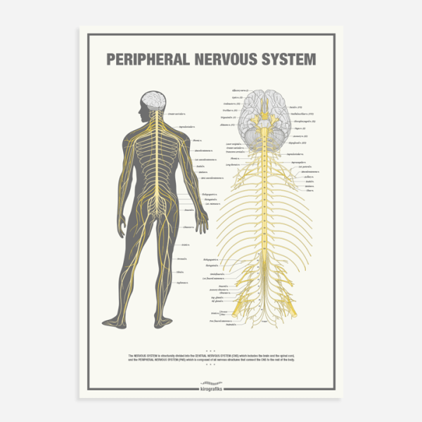 The Peripheral Nervous System Chiropractic Poster By Kirografiks