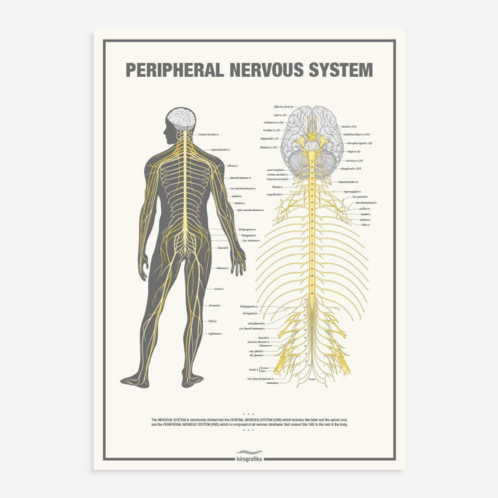 The Peripheral Nervous System - Chiropractic poster by Kirografiks