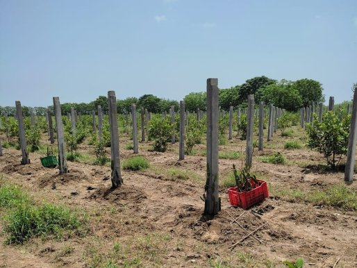Dragonfruit plantation