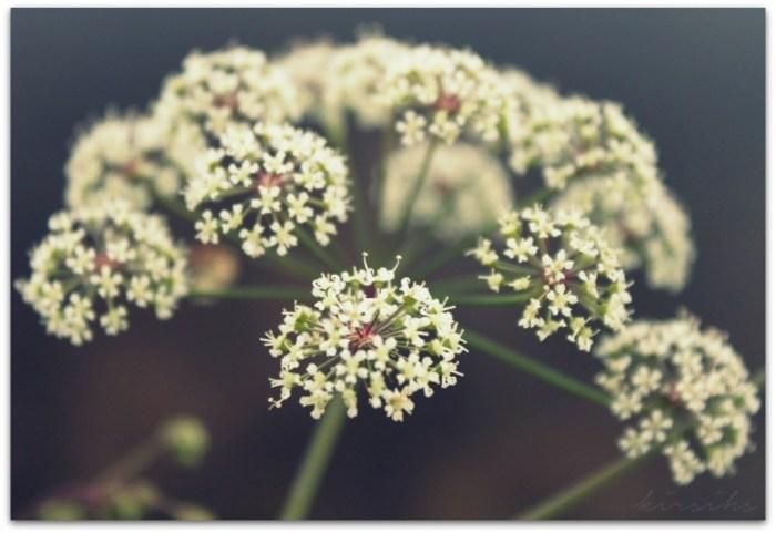 101 vuohenputki kirsihs ©kirsihallaseppala