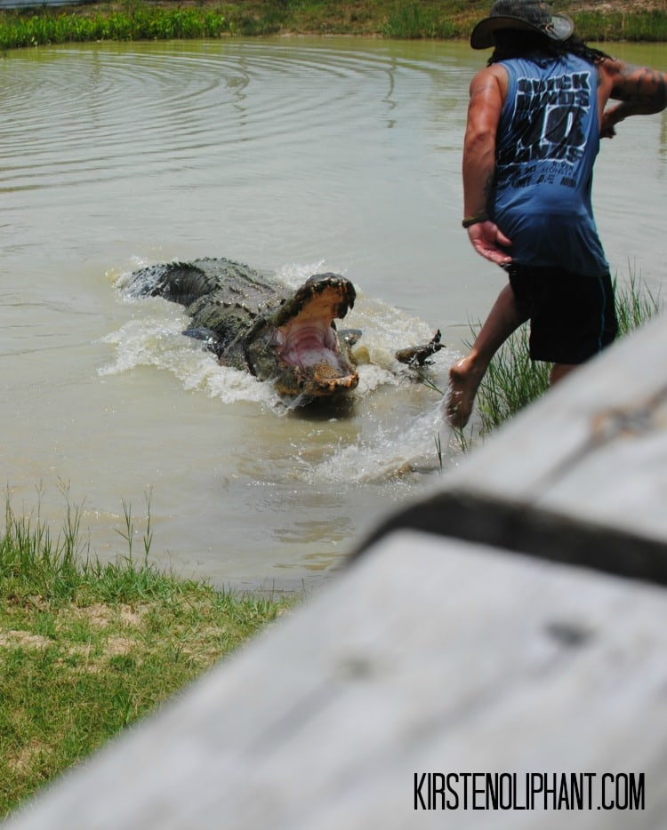 Big Al is the largest gator in captivity in Texas and lives at Gator Country.