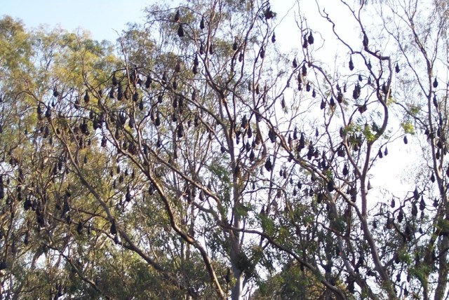 Lots of flying-foxes hanging upside down in a Eucalyptus tree, with blue sky in the background