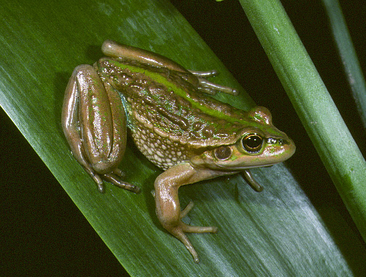 A brown and green frog, sitting on a leaf