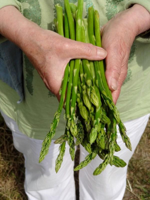 asparges Vibeke 1