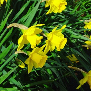 yellow daffodils, beauty in every day