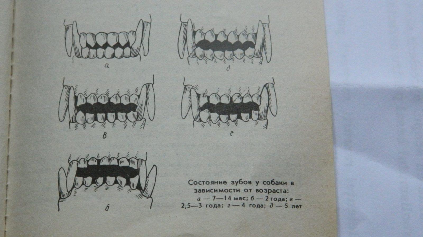 как определить возраст щенка по зубам фото находитесь