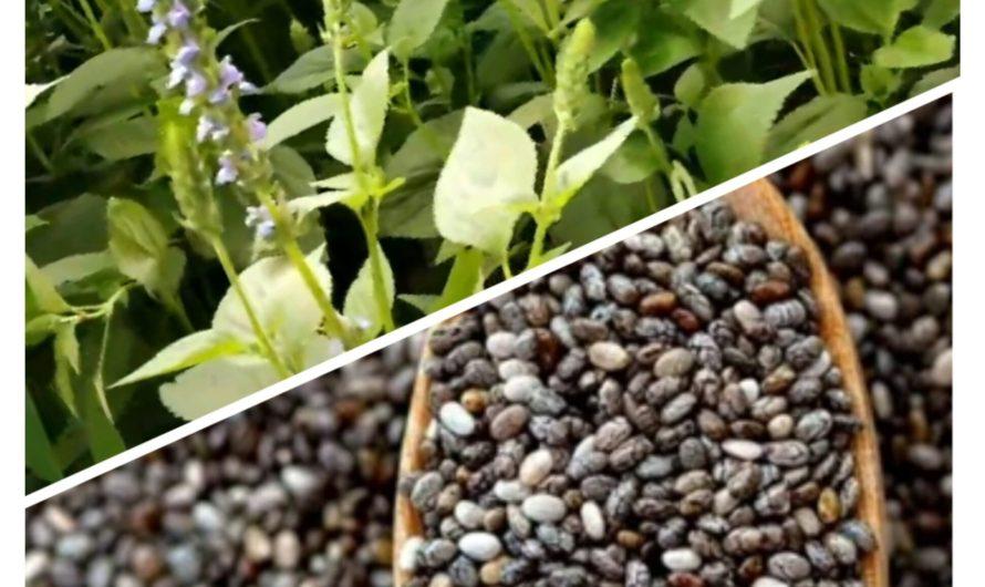 चिया का पौधा कैसा होता है चिया की खेती कैसे करें
