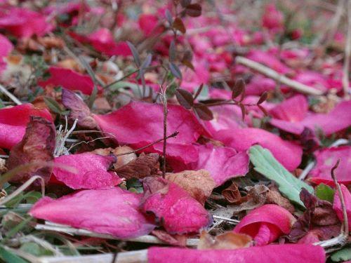 寒椿ツバキの花びら