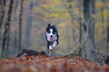 Dog running woods Kiss Dog Training