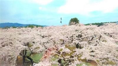 五稜郭2階から見た桜