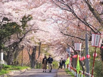 【室蘭 桜の名所】母恋富士下桜並木!