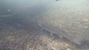 5月道東 水中動画でわかるワイルドトラウトの生態!