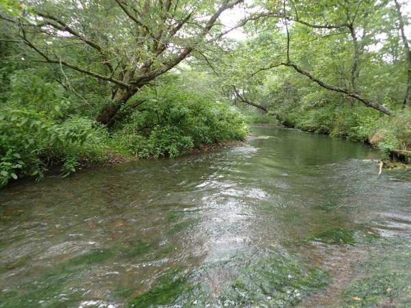 西別川サクラマス