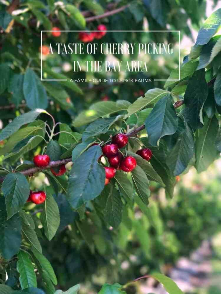 Ripe cherries on a branch in an orchard