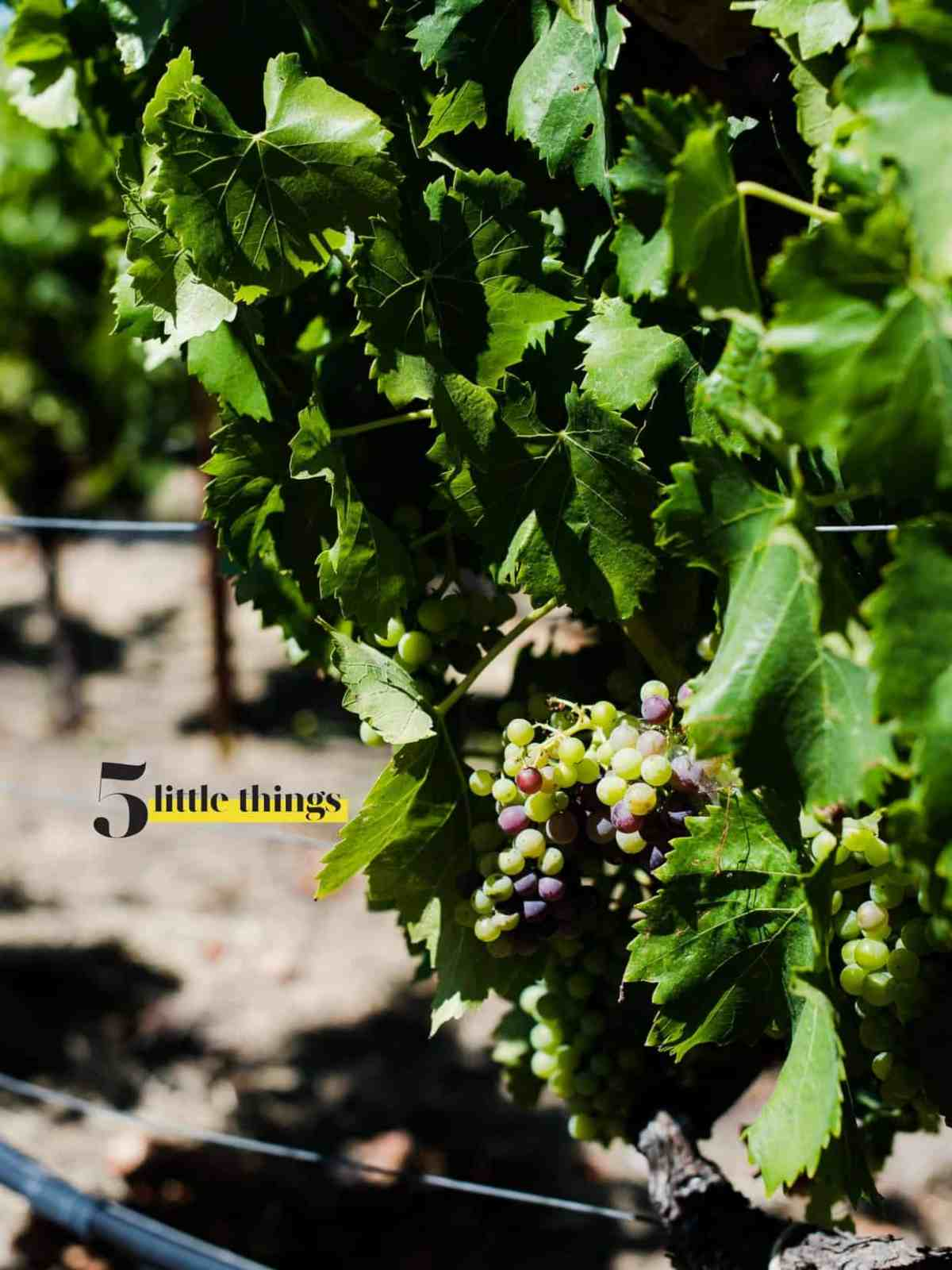 Grapes growing on the vine in Wine Country.