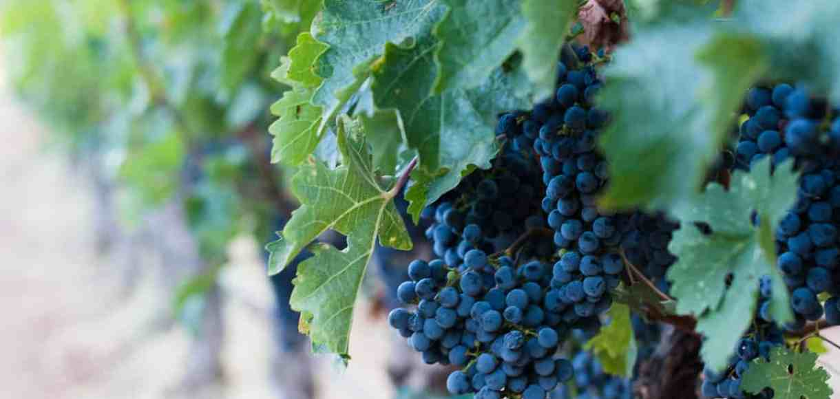 grape vines with purple grapes - Five Little Things from Kitchen Confidante