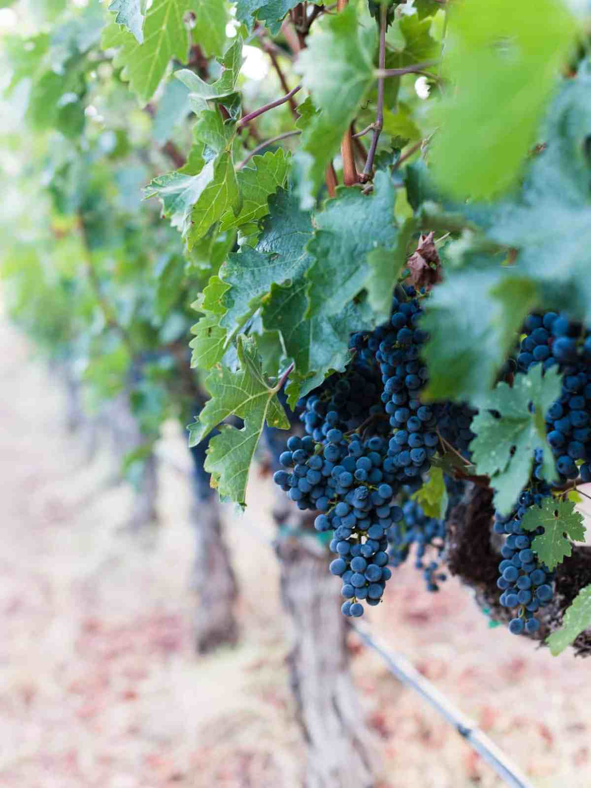 Grapes on the vine at Kelly Fleming Winery.