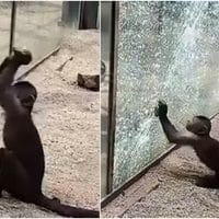 Monkey Shatters The Glass Enclosure With A Sharpened Rock At The Zoo