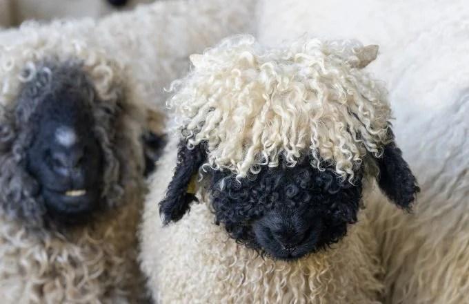 Black Nosed Sheep