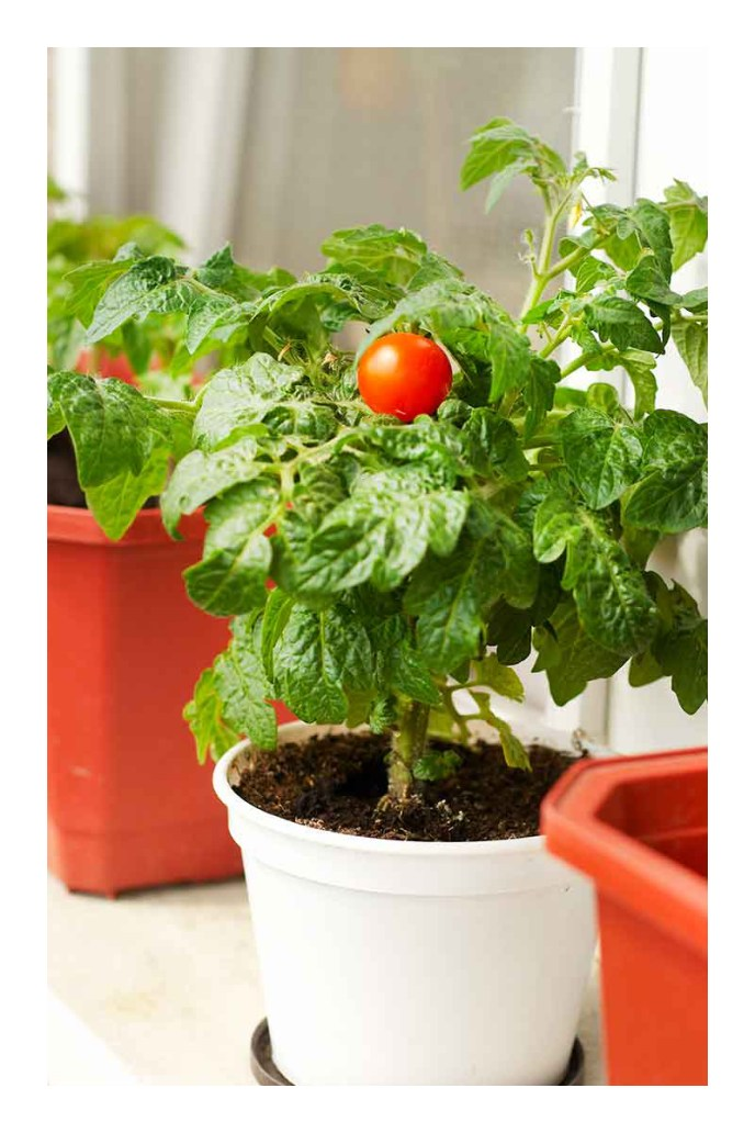 growing roma tomatoes in pots