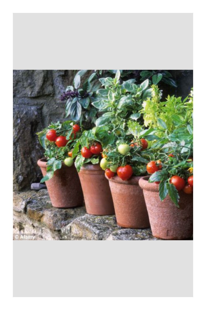 growing tomatoes in pots in a greenhouse