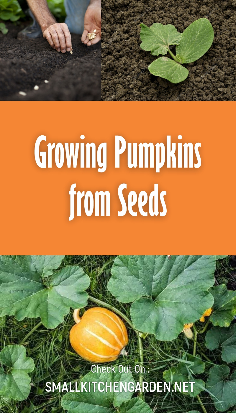 Growing Pumpkins in your Own Garden