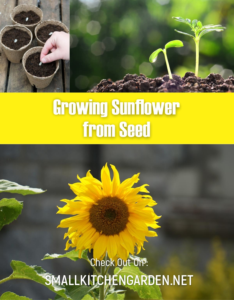 Growing Sunflowers for a Home Garden