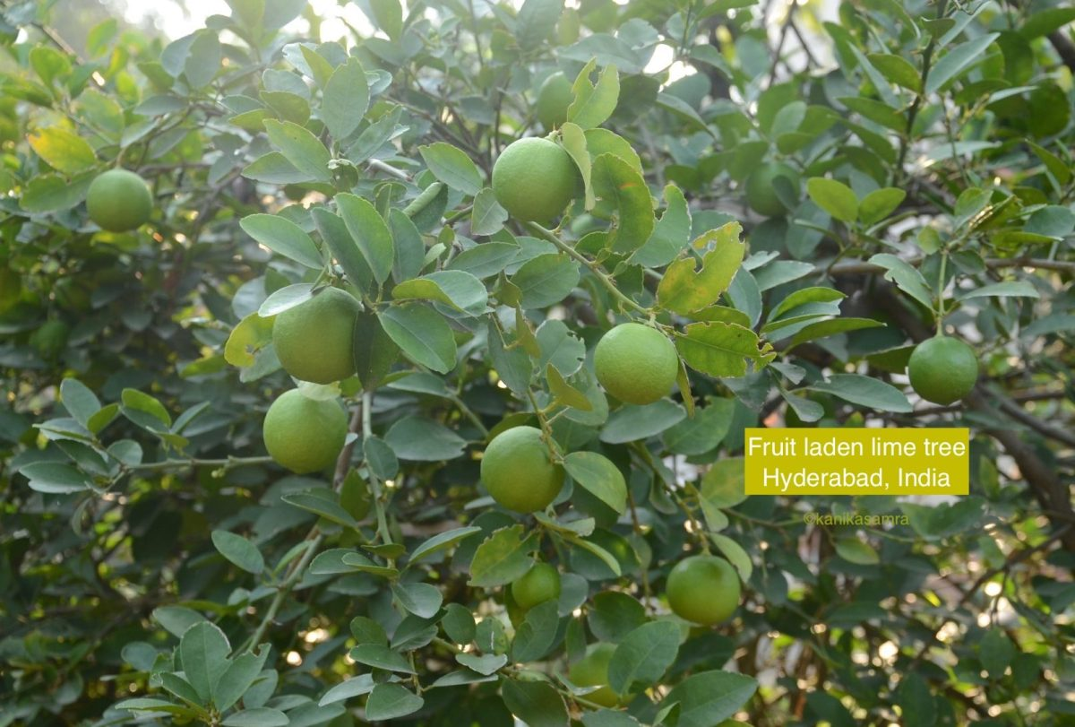 Lime - nimbu