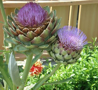 Artichoke-in-Bloom.jpg (400×366)