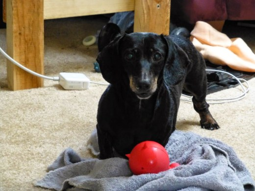 Black and tan dachshund with squeaky toy