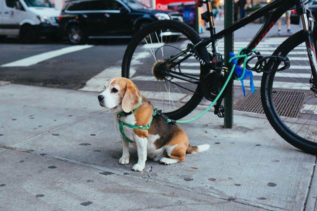 Beagle tied to a bike rack by a busy street. A detour to the hospital: Sickness derails us
