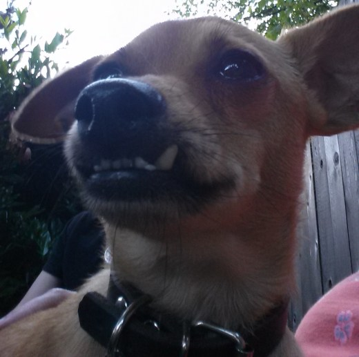 Dex is also trying to relax-he usually succeeds! Close up of a chihuahua face.